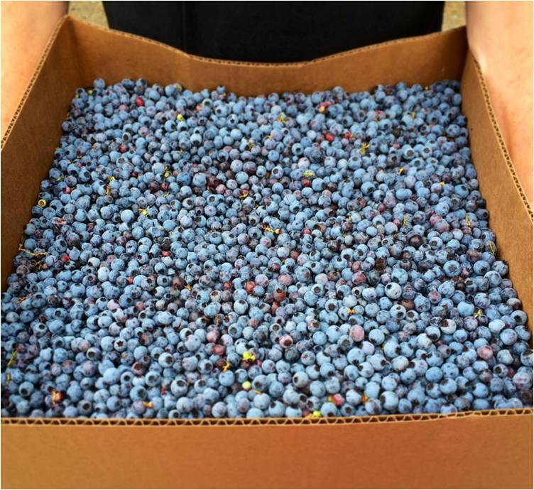 Blueberries 2014 - Letter Size