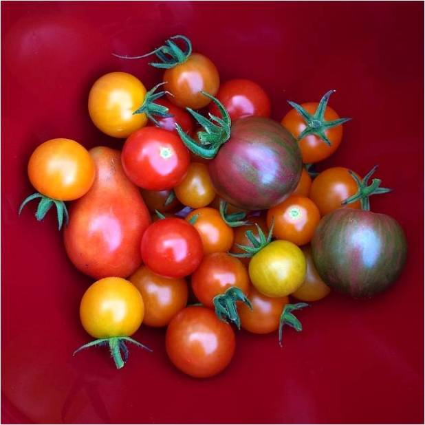 First Tomatoes 2014 - Letter Size