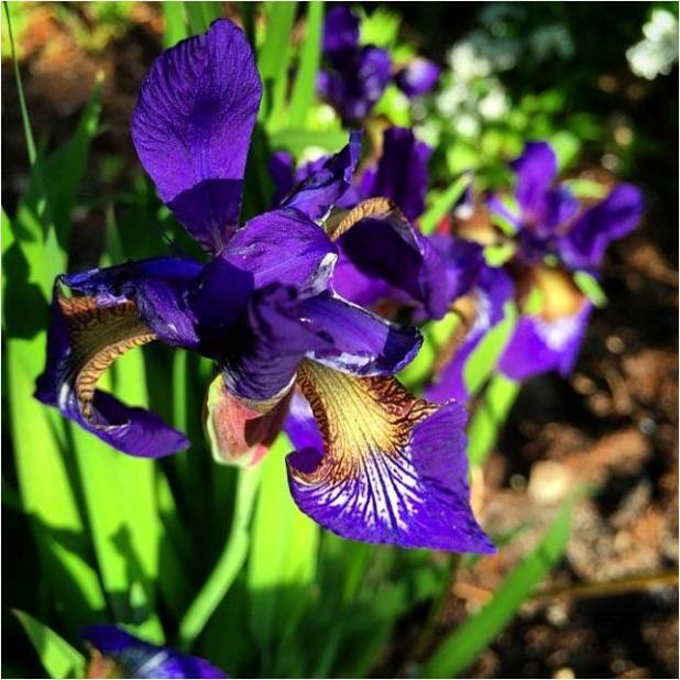 Iris 2014 - Letter Size