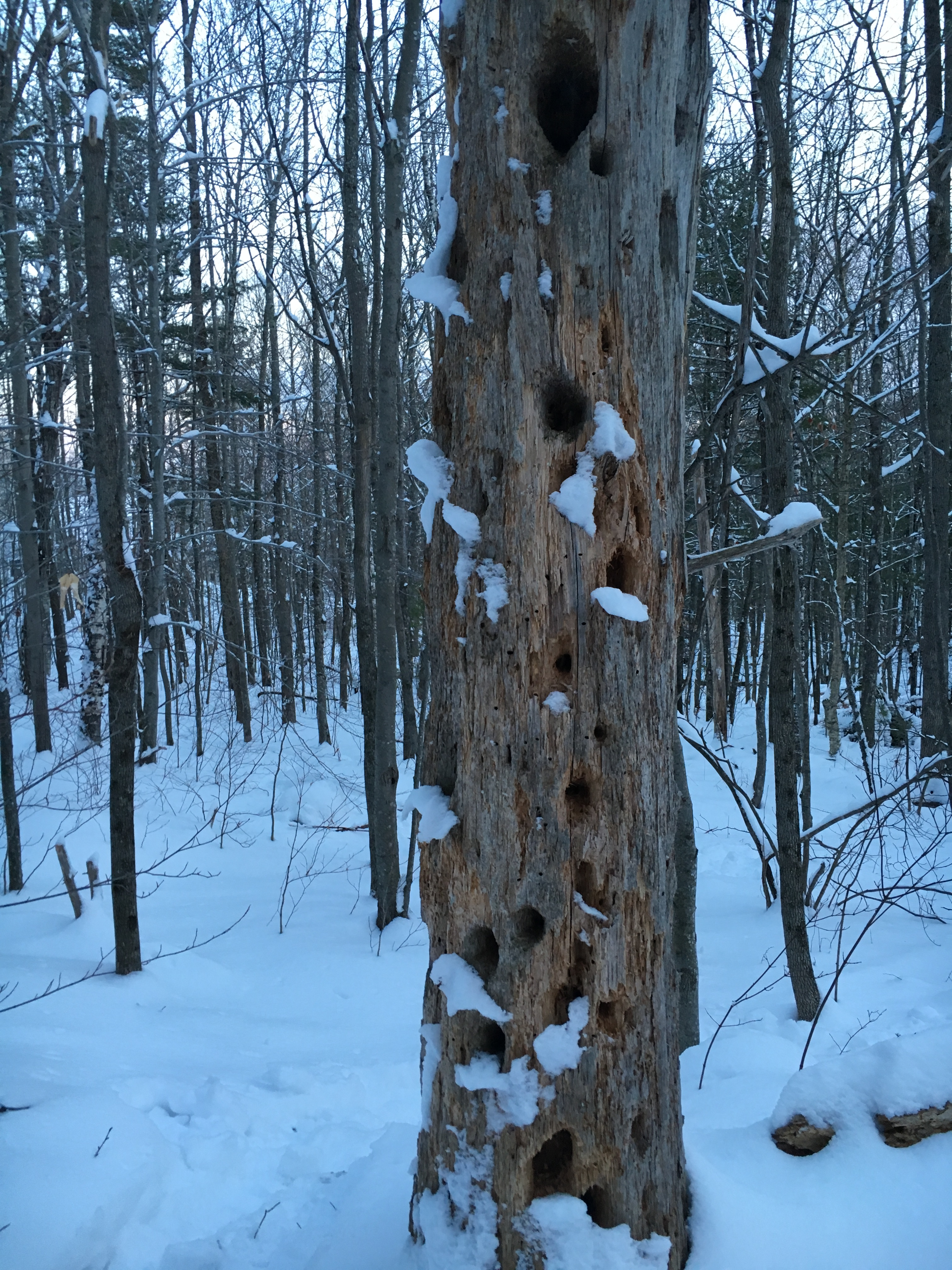 Woodpecker Tree - Copy